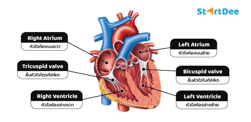ส่วนประกอบ-หัวใจ-heart-anatomy