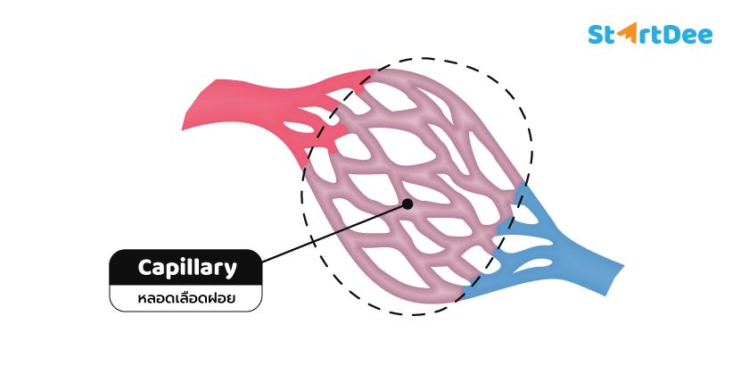 หลอดเลือดฝอย-capillary
