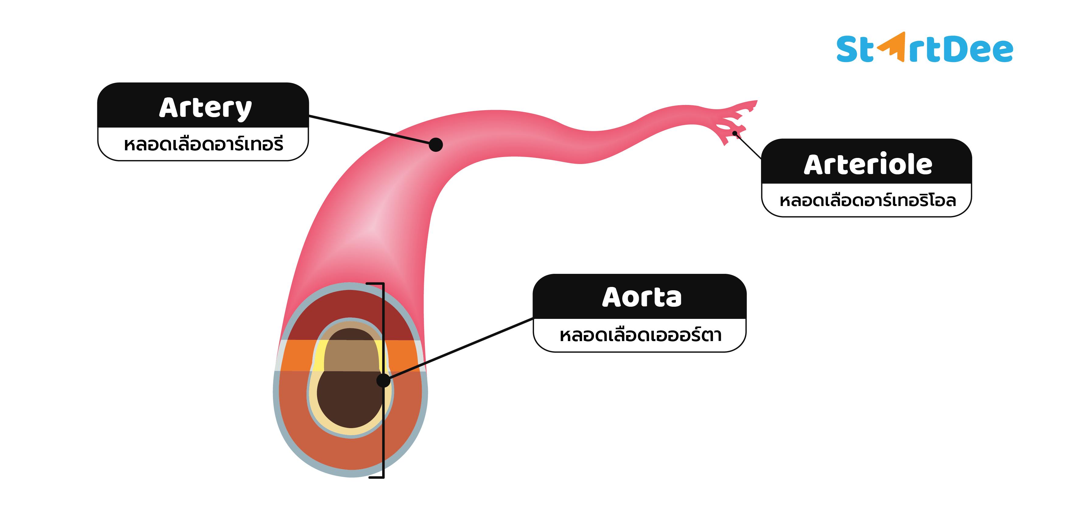 หลอดเลือดเอออร์ตา-อาร์เทอริโอล-อาร์เทอรี