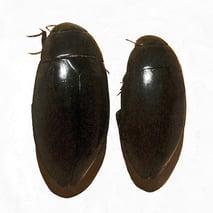 เหนี่ยง-Hydrophilus-bilineatus