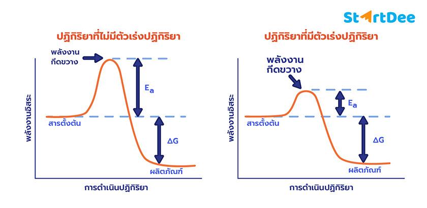 เอนไซม์-การเร่งปฏิกิริยา-ตัวเร่งปฏิกิริยา
