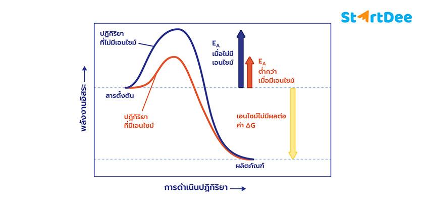 เอนไซม์-การเร่งปฏิกิริยา-พลังงาน
