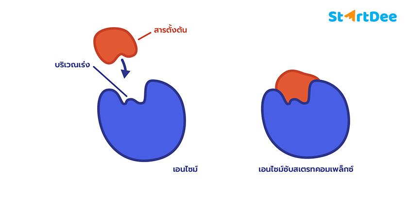 เอนไซม์-เอนไซม์ซับสเตรตคอมเพล็กซ์